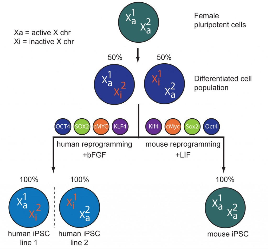 The inactive X does not reactivate during human cell reprogramming