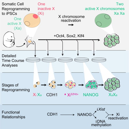 X-chromosome Reactivation Dynamics during Reprogramming